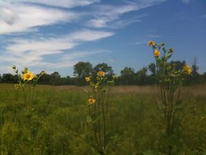 SunflowersSky990_IMG_5050