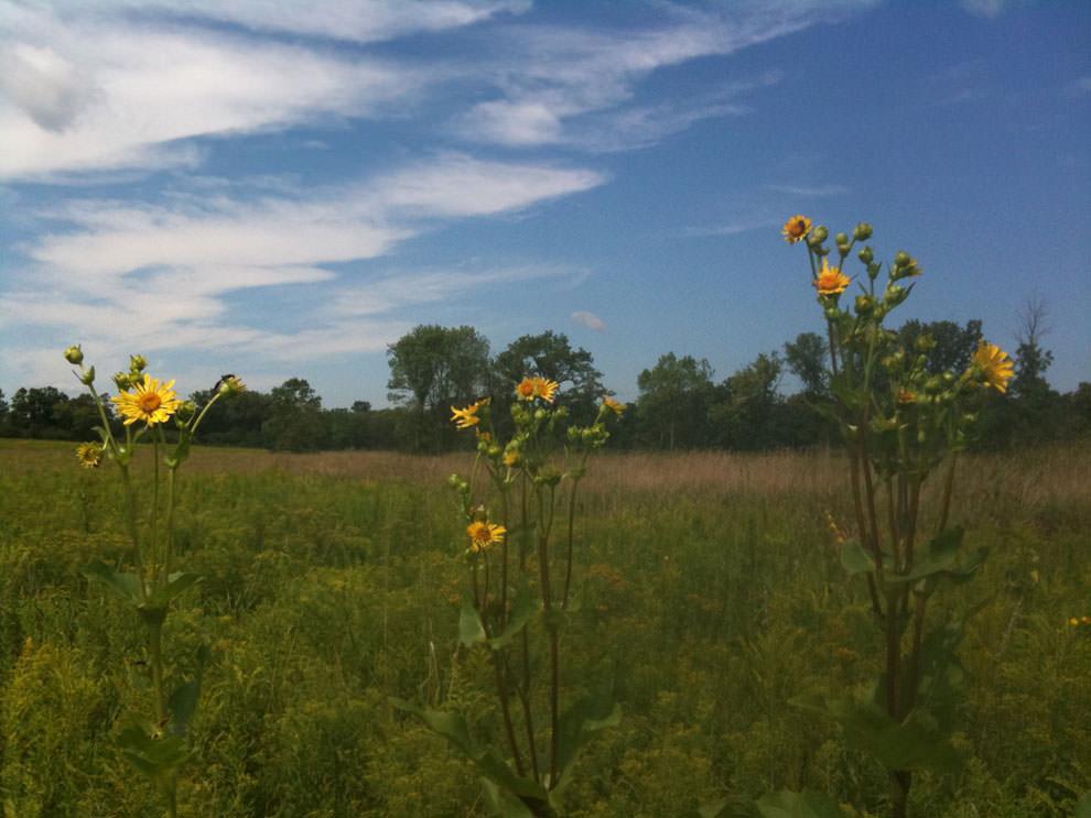 Sunflowers in open lands