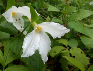 990px_Trillium_LargeFlowered_IMG_1734