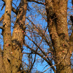 Red Oak Buds