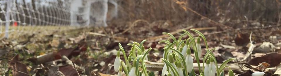 Snowdrops or spring drops?